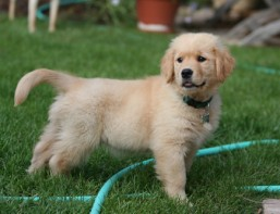 Golden_Retriever_puppy_standing